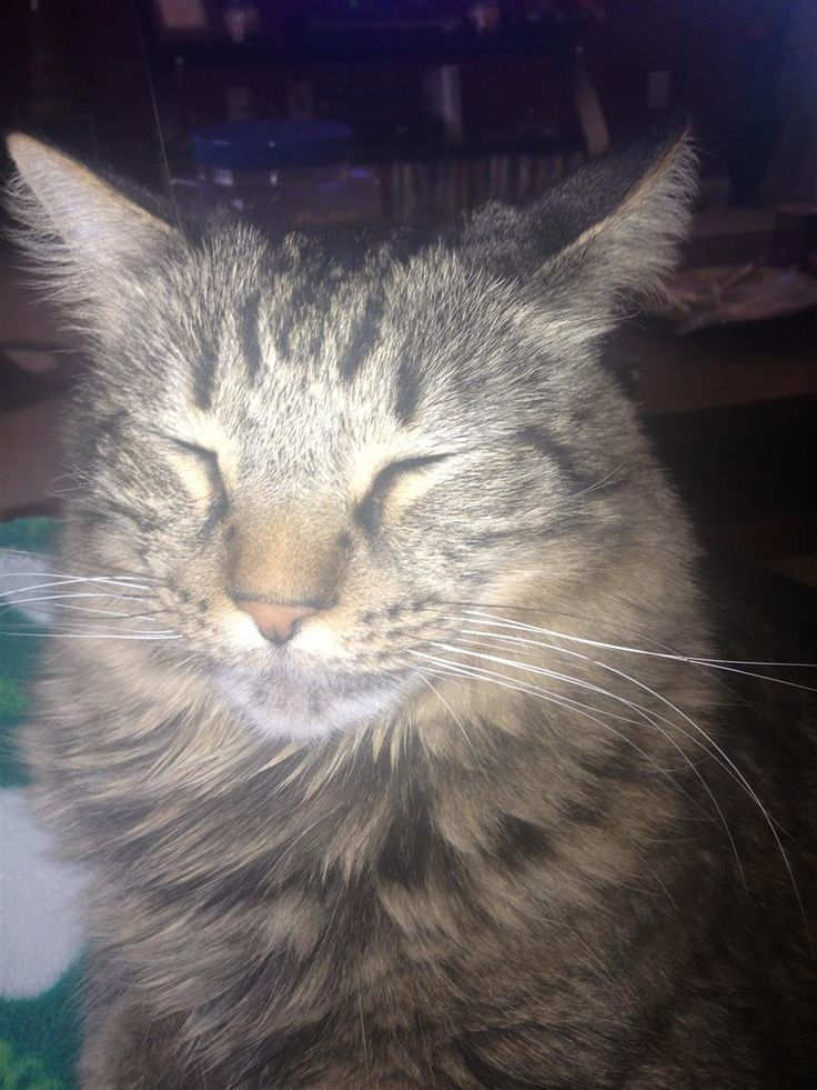 Lost Cat Maine Coon Haslet, TX, United States 76052