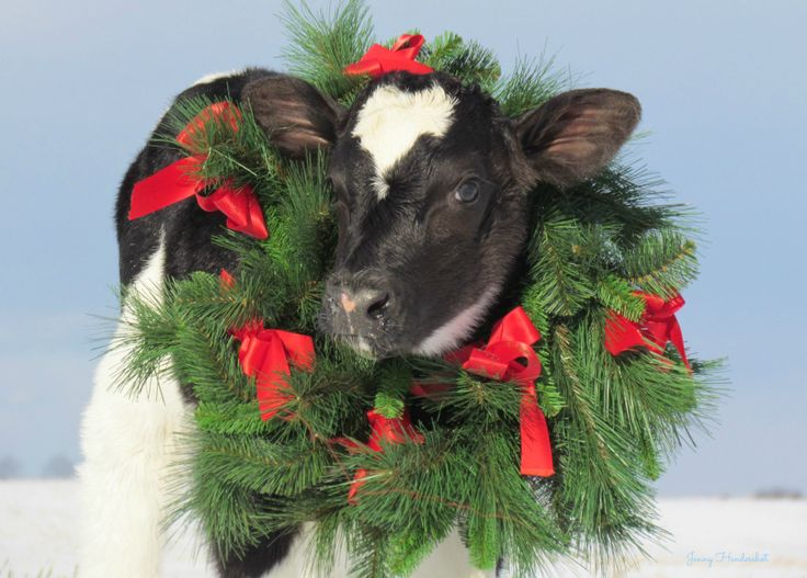 Christmas Calf Cow Farm Amp Country Living Pinterest