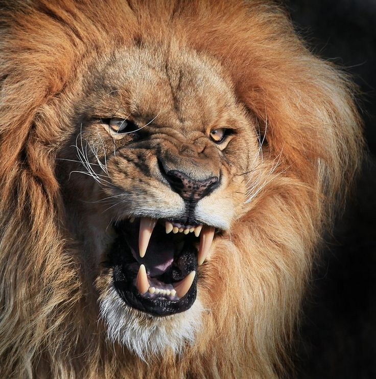 angry animals Google Search Animals Pinterest