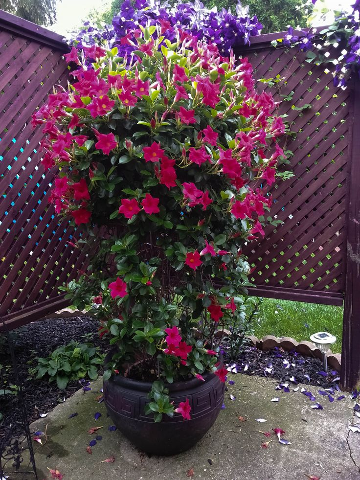 Potted Dipladenia My garden Pinterest