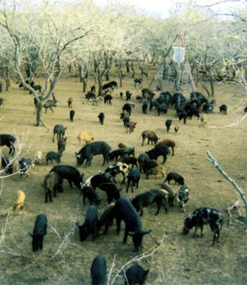 Feral Hogs in Texas, 2011, population of wild hogs has