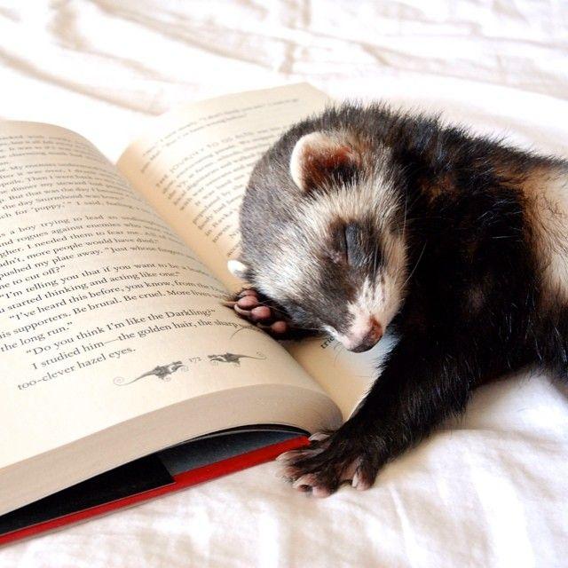 Image result for Ferret