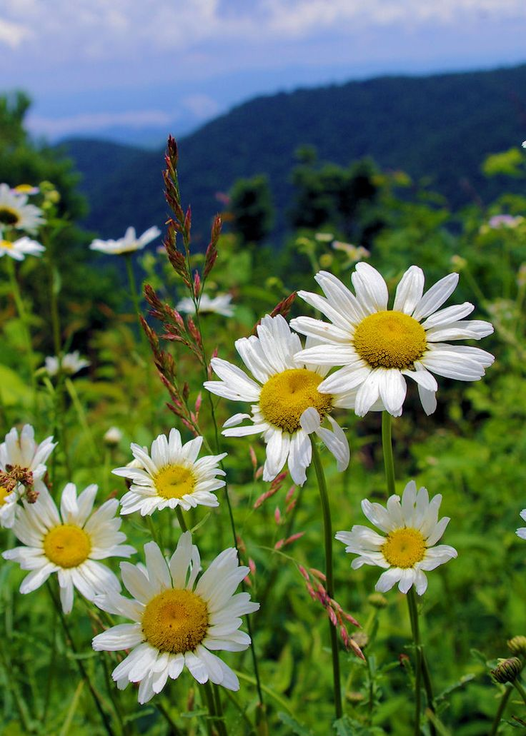 wildflowers along the Blue Ridge Parkway near Asheville