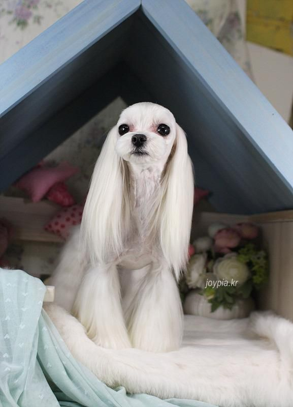 Best 18 Asian Fusion Style Dog Grooming Images On