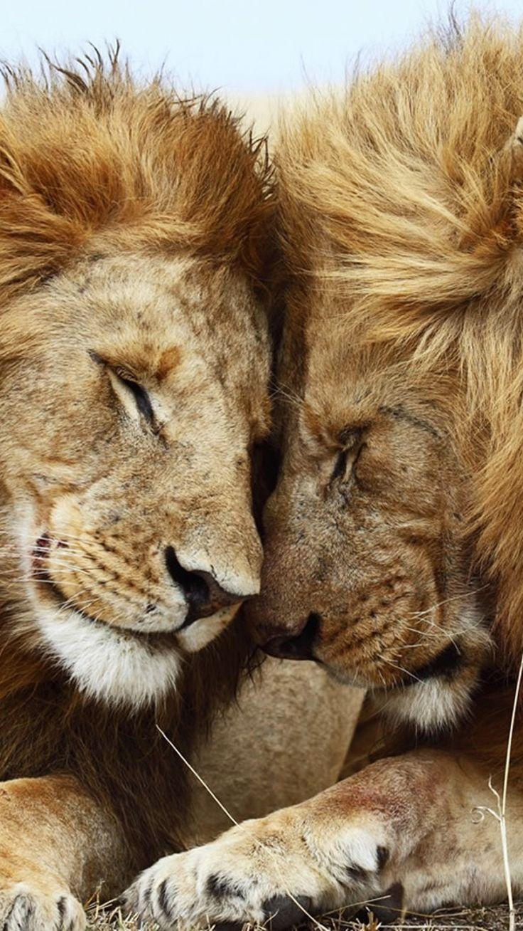 Download Wallpaper 1080x1920 lion, cat, couple, mane, rest