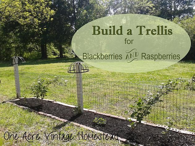 Build A Trellis For Blackberries And Raspberries One