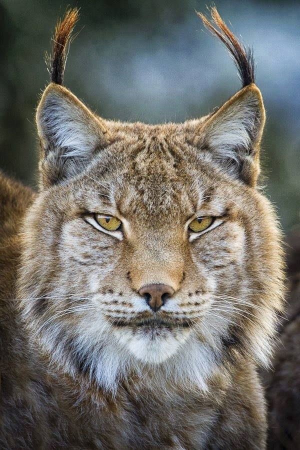 Beautiful Cats / Wild Book (Lynx)?? Amazing and