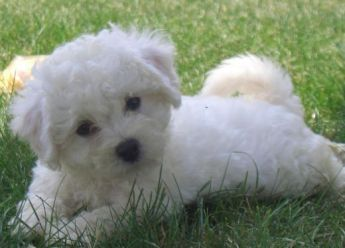 BICHON WHAT THEY NEED | Bichon Puppies - How To Care For Bichon Frise Dogs And Have A Bichon ...: BICHON WHAT THEY NEED | Bichon Puppies - How To Care For Bichon Frise Dogs And Have A Bichon ...