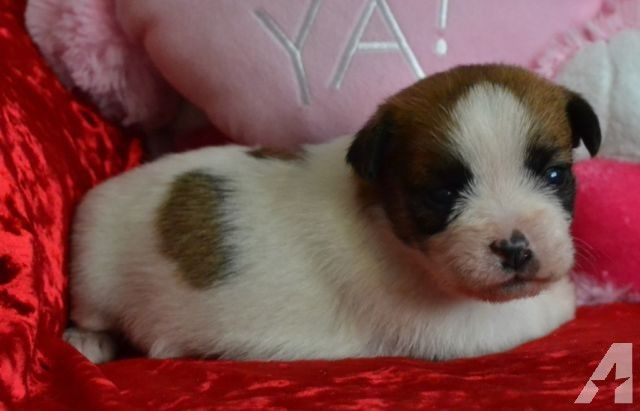 441 Best Images About MiXeD BrEeD Dogs Amp PuPs On