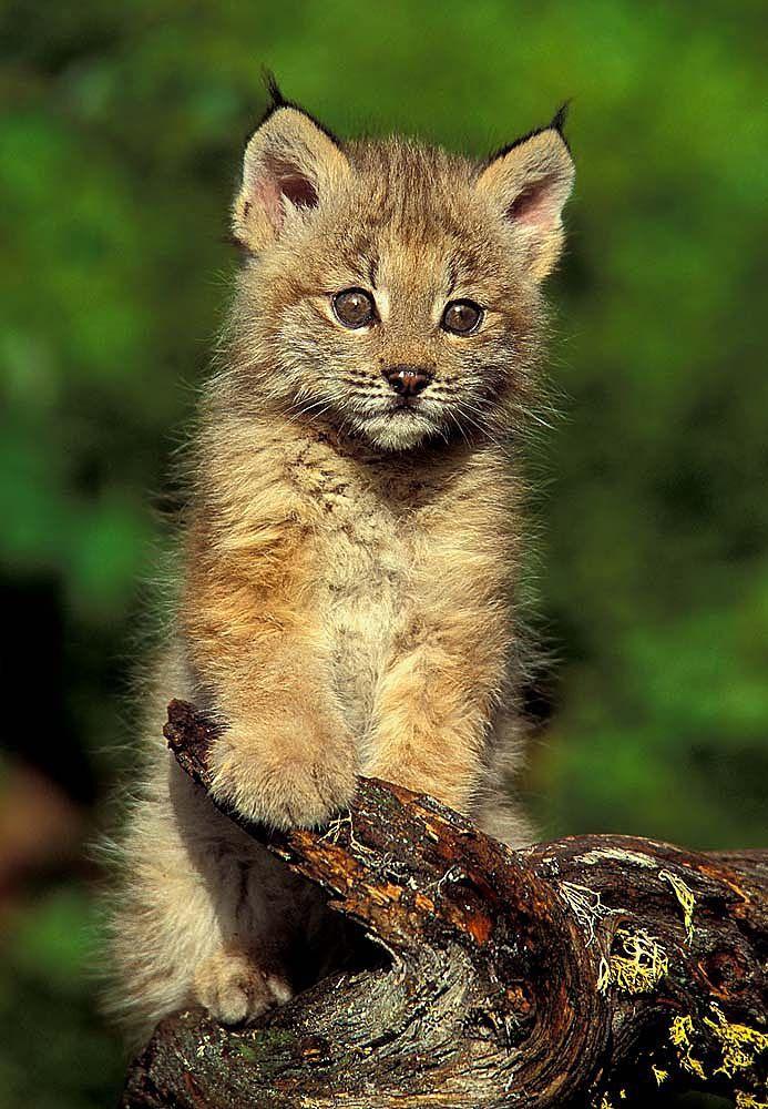 Lynx, Kittens and Wildlife nature on Pinterest