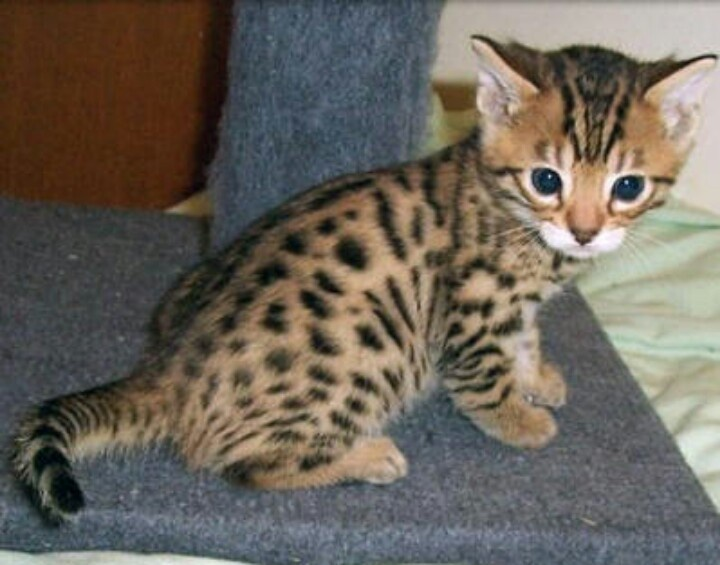 Adorable cat that looks like a cheetah Cute Pinterest