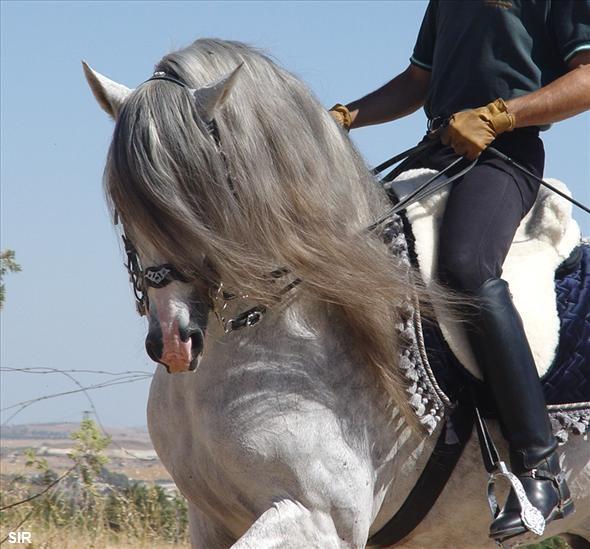 Andalusian Horses Sale California Horses For Sale, Horse
