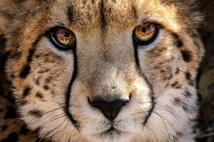 This Extreme Close Up Of The Cheetah Is Just Incredible