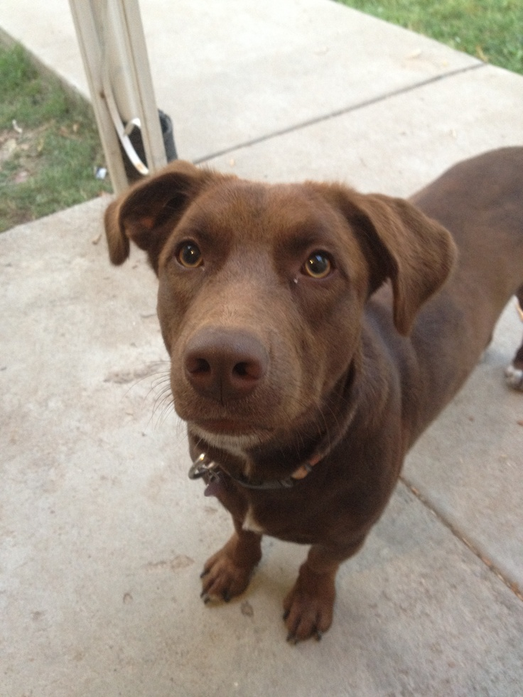 Libby Lou...the Chocolate Lab/ Pit mix. She is my baby