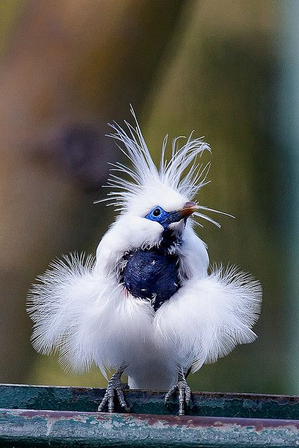 Bali Mynah- is restricted to the island of Bali in Indonesia, where it is the island's only endemic vertebrate species.