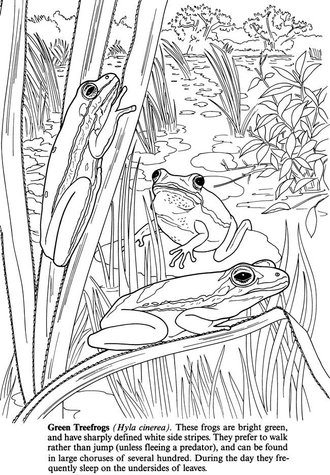 Frog coloring page Pond Life Pinterest Coloring