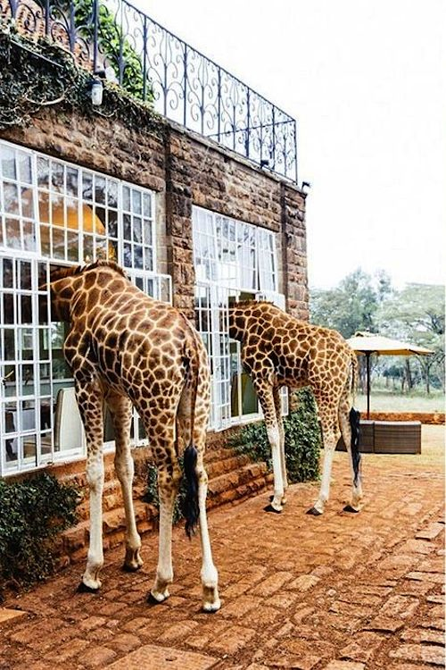 Giraffe Manor, Kenya. Travel Pinterest Places