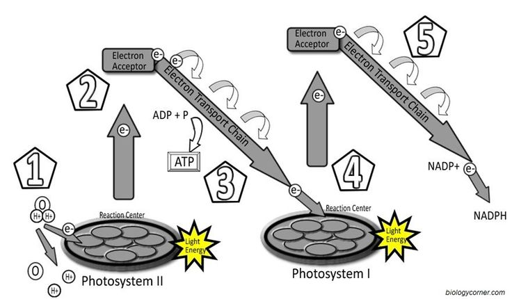 Photosynthesis Labeling