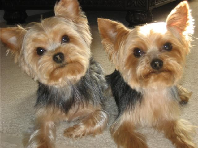 1658 Best Images About Yorkies On Pinterest
