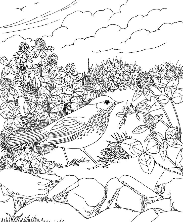 Free Printable Coloring Page...Vermont State Bird and
