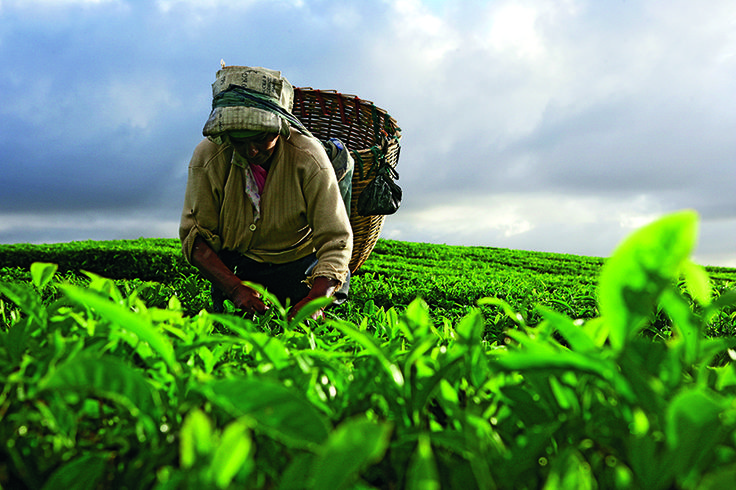 The tea plants grown in these areas were brought from