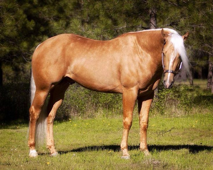 17 Best Images About Palomino Horses On Pinterest