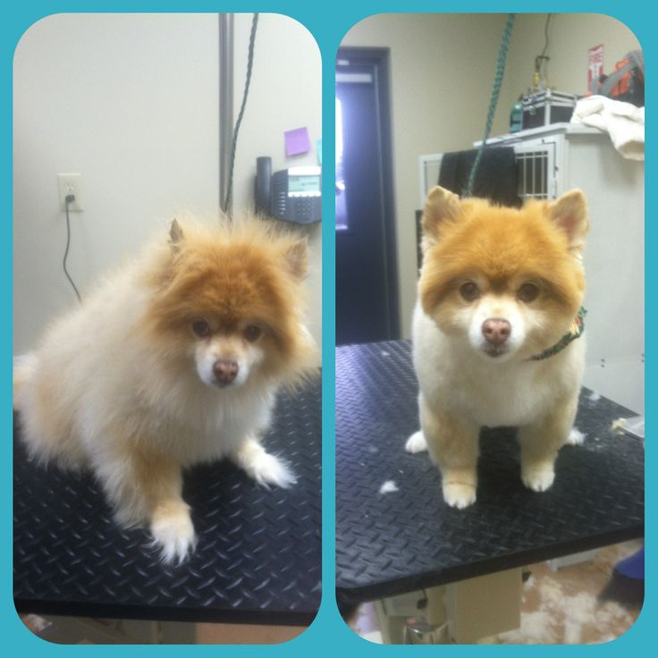 Pomeranian Before And After Grooming Rachael Graham Pet