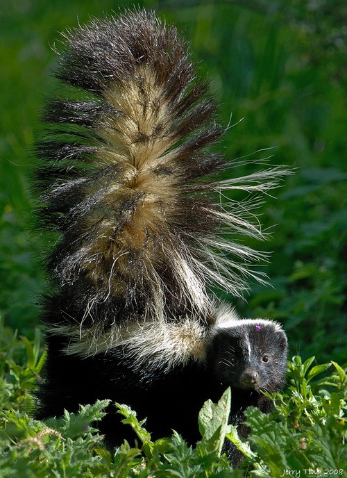 Skunks (also called polecats in America) are known for