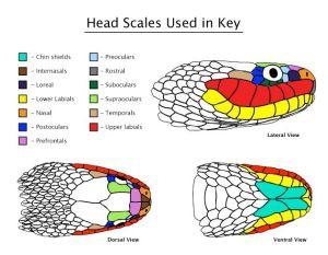 Snake Head Scale Diagram   Handy Herp Help   Pinterest