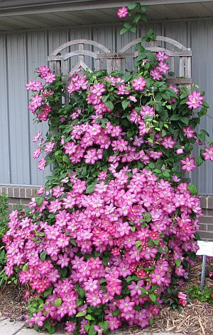 DIY:   Learn where to plant and when to prune a clematis. Not every clematis should be cut back in the fall.