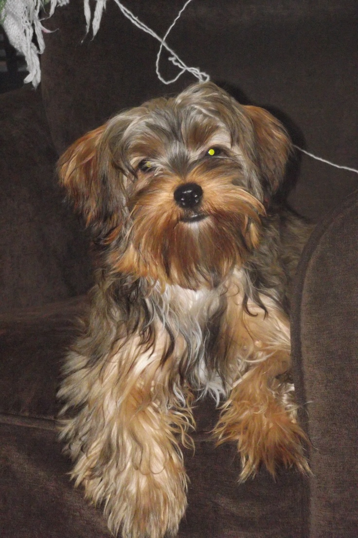 22 Best Images About Yorkie Poo On Pinterest Around