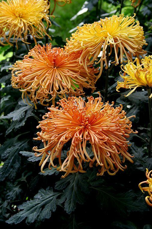 Spider Chrysanthemum Plants For Sale Chrysanthemums