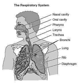 Respiratory system, Study guides and Study on Pinterest