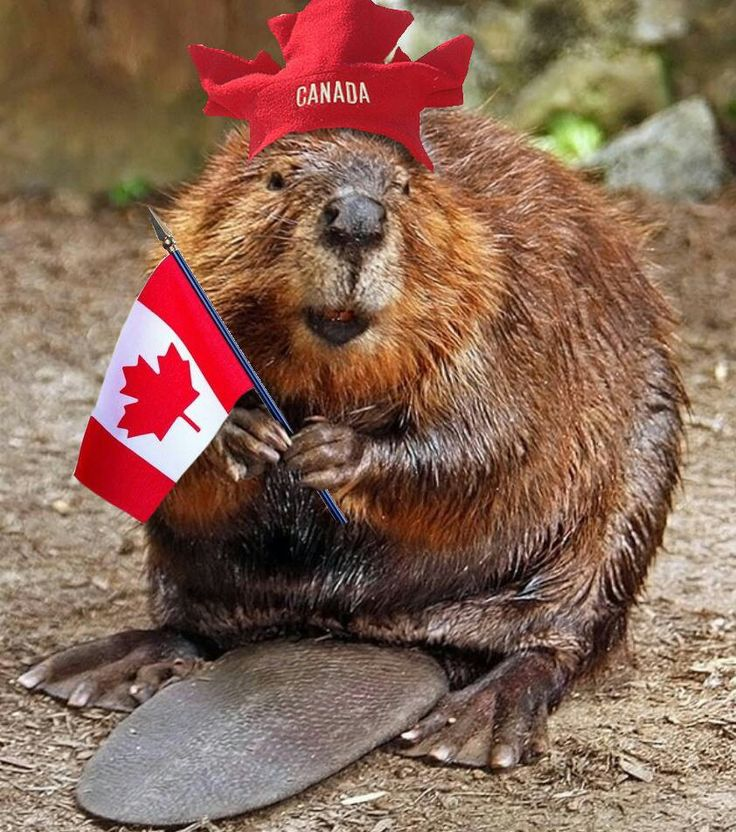 Our national animal the beaver Everything Canadian