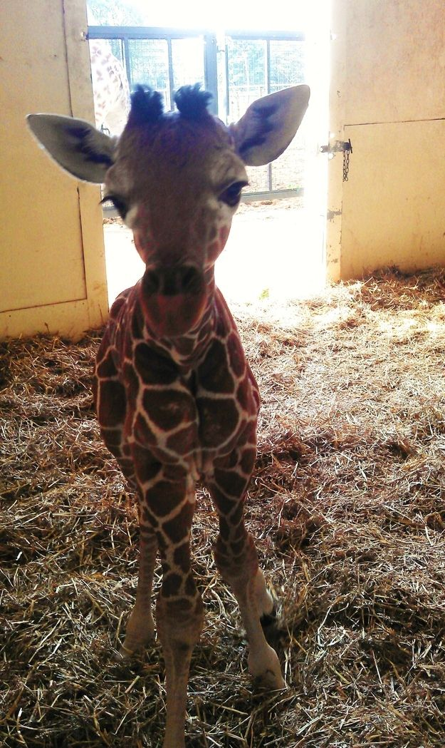 Baby giraffe stares at camera