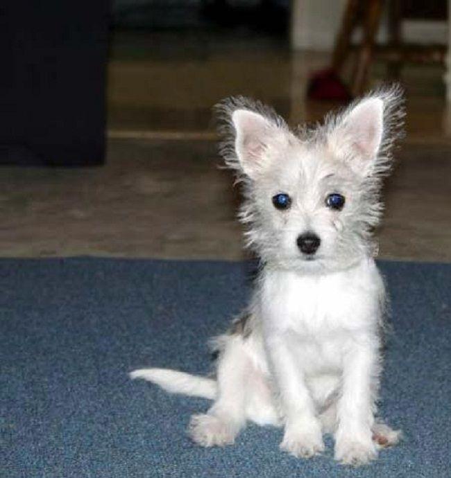 Chihuahua Maltese Mix Chihuahua Mix Pinterest
