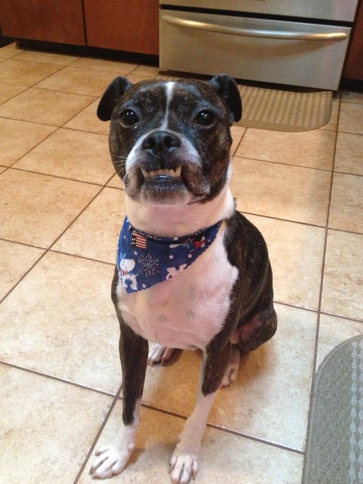 My Handsome Bojack Boston Jack Russell Boy Puppy