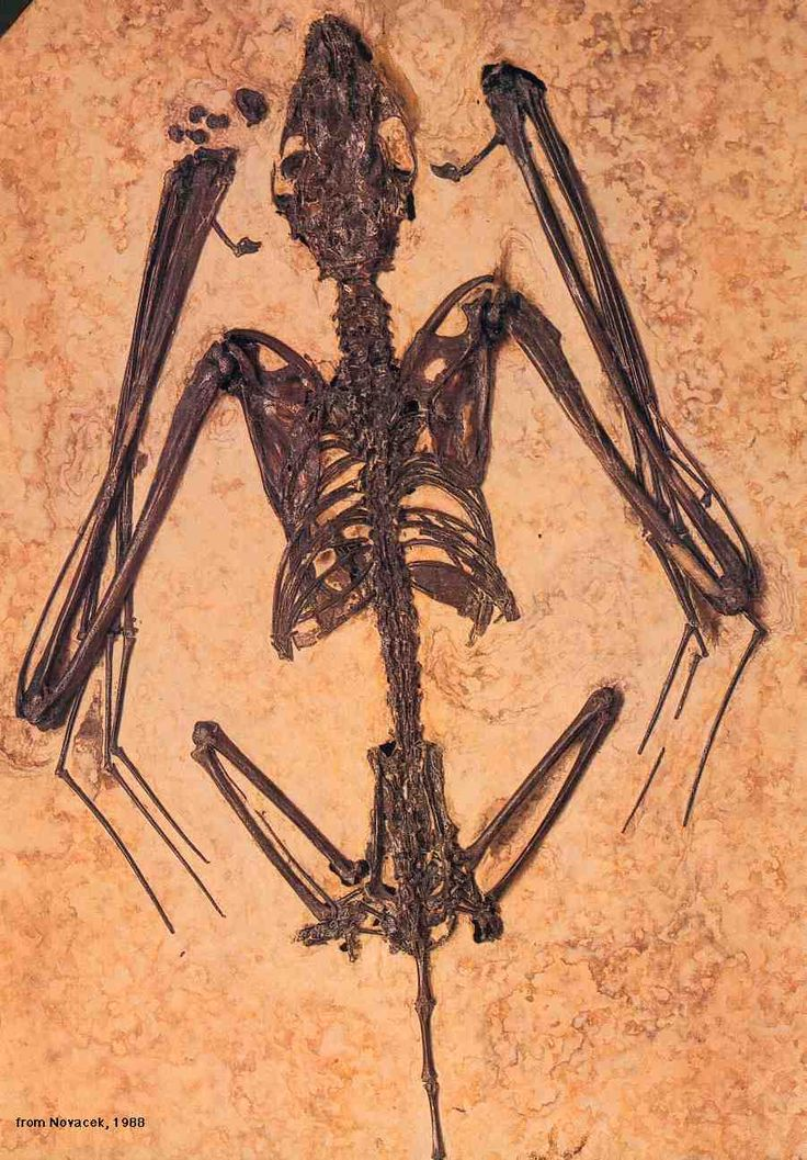 Fossil Bat Icaronycteris index Eocene Epoch 5633.9