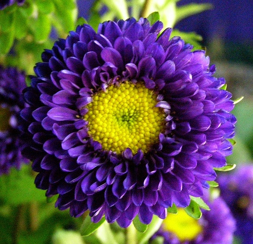 purple matsumoto asters For the Red White & Blue