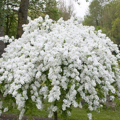 28 White Flowered Shrubs Gallery For Gt Fragrant White