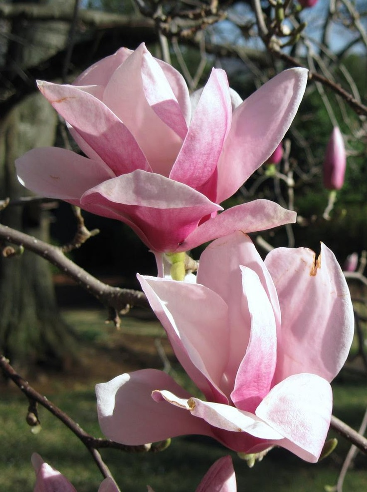 Saucer Magnolia Flowers, this tree is currently blooming