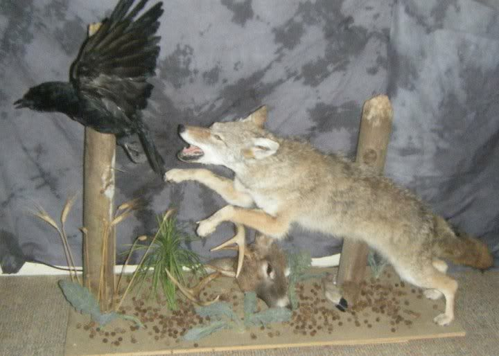 17 Best Images About Coyote Mounts On Pinterest Coyotes In The Corner And Fireplaces