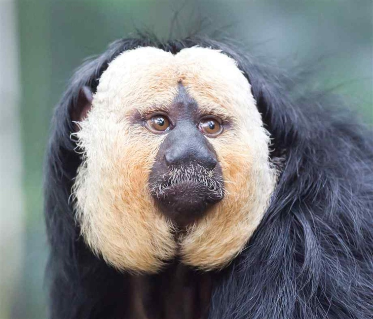 Whitefaced Saki monkeys (also known as Paleheaded Sakis