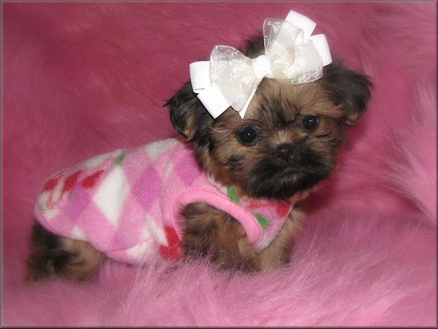 Teacup Shih Tzu Puppies Tzu Imperials Teacup Toy