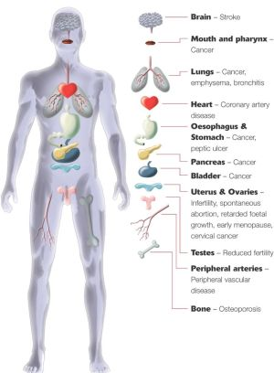 Major Organs Of The Human Body For Kids Human body anatomy