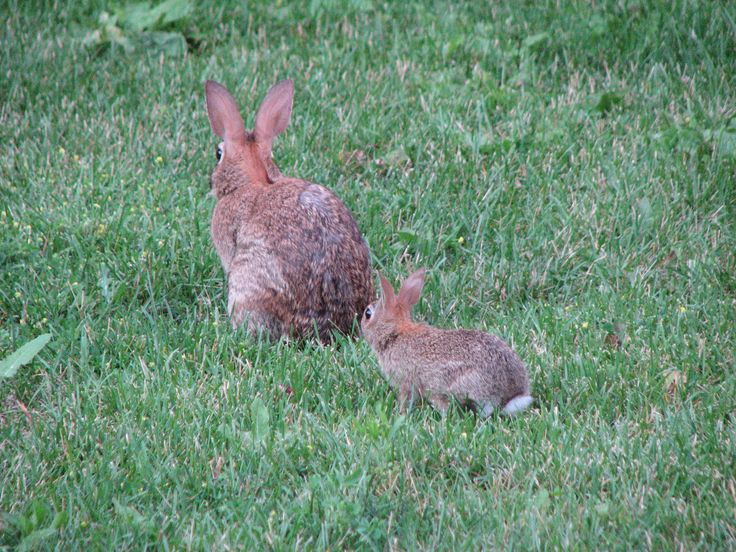 Like my mother does... Mother and baby Eastern cottontail