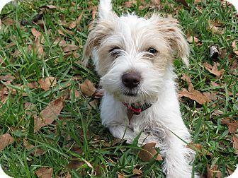 Middleburg FL MalteseJack Russell Terrier Mix Meet