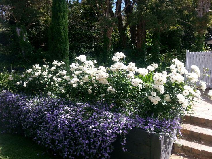 Iceberg roses and convolvulus Gardens Pinterest