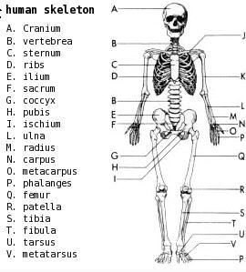 25 best ideas about Human skeleton labeled on Pinterest | Human skeleton bones, Human skeleton