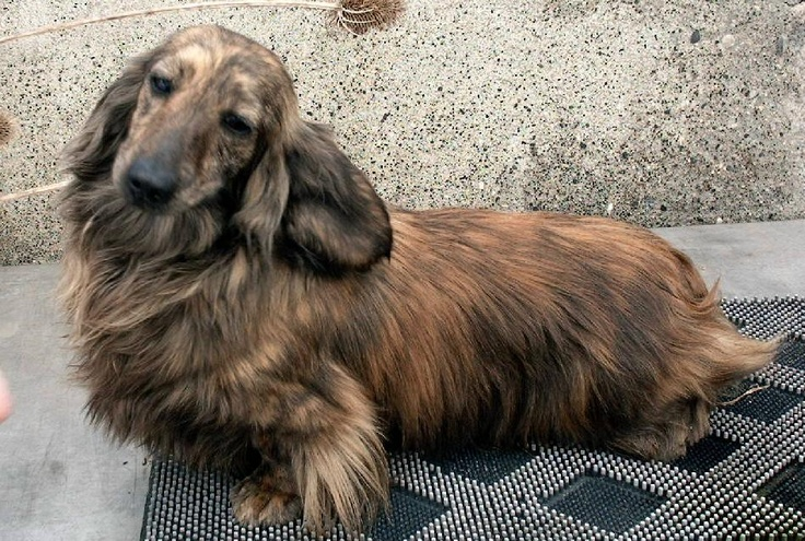 17 Best Images About Long Haired Dachshunds On Pinterest